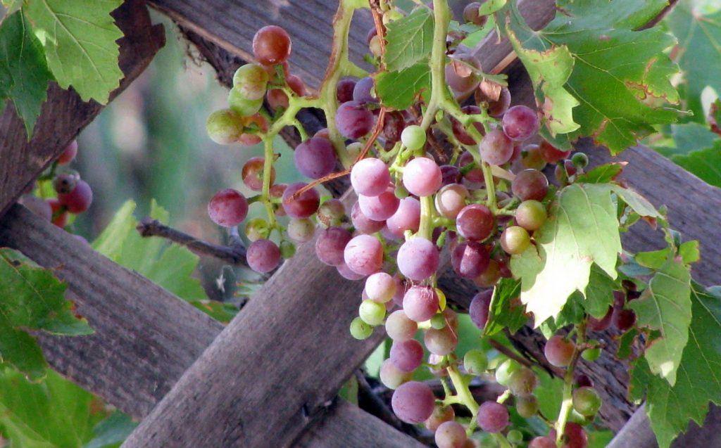 fruit harvest grapes